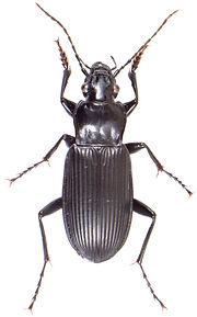 Pterostichus niger 2.jpg