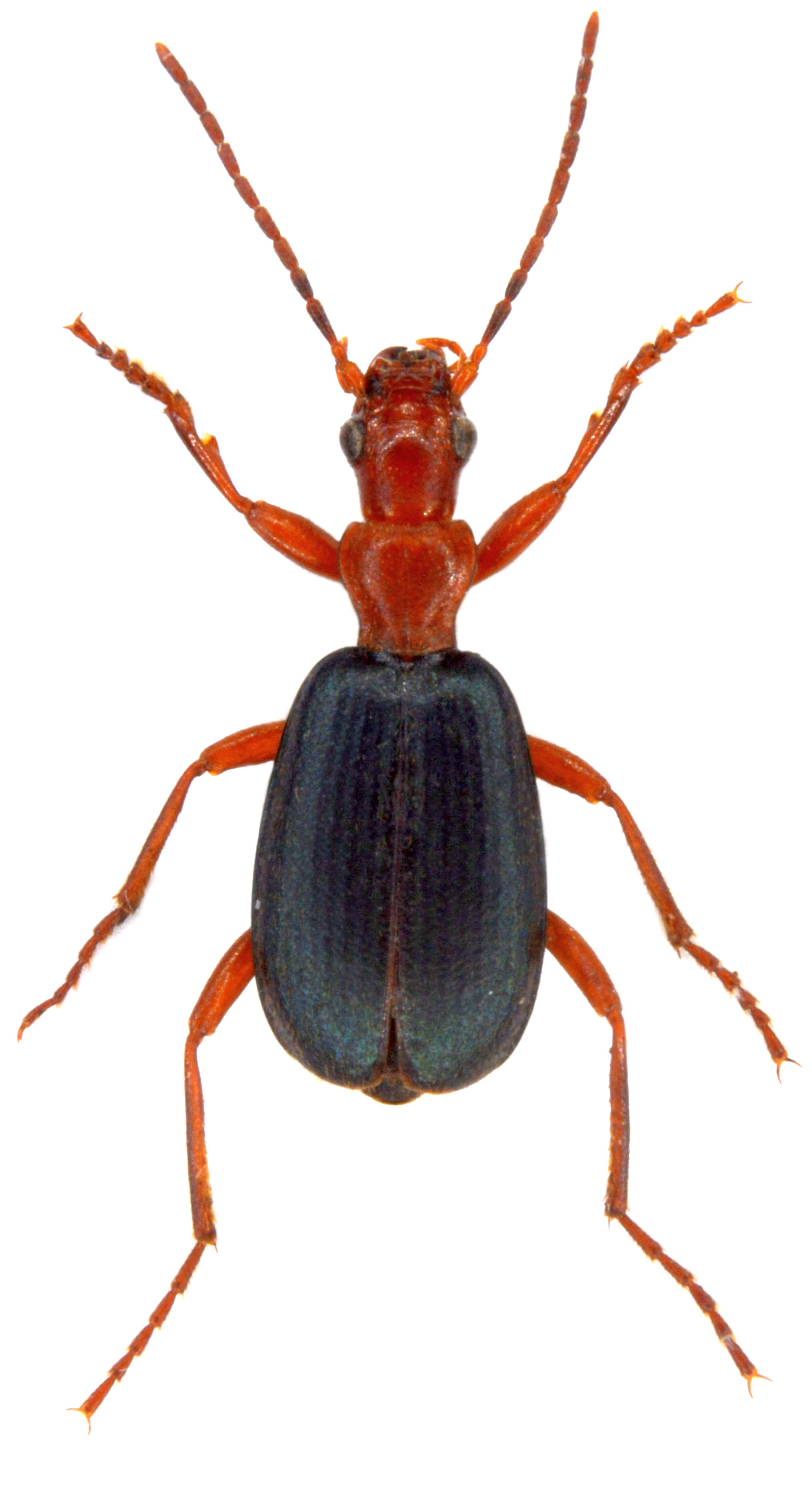 Brachinus crepitans 2
