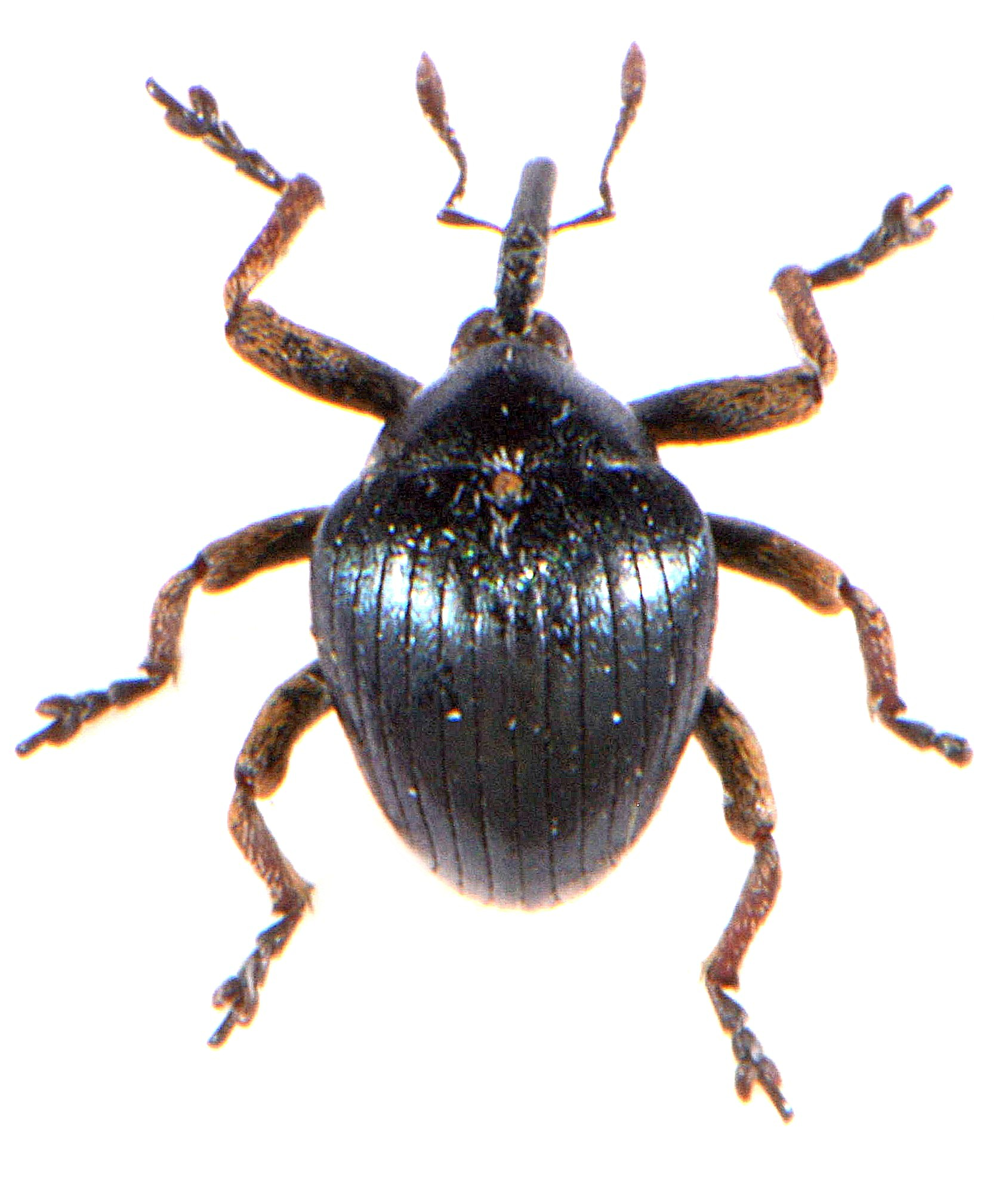 Orobitis cyaneus 1
