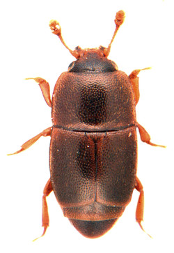 Carpophilus marginellus 2