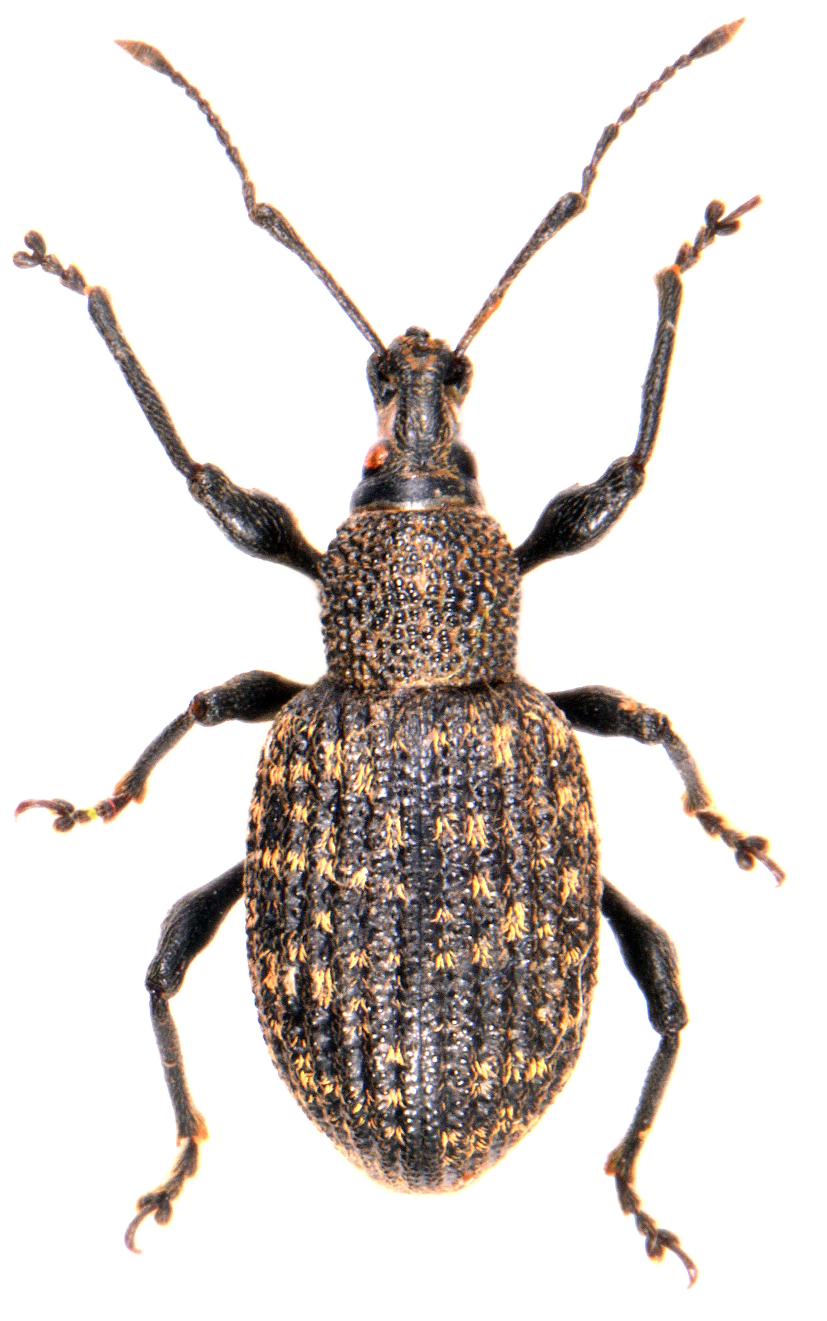Otiorhynchus sulcatus 1