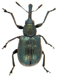Neocoenorrhinus germanicus 1