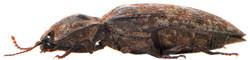 Agrypnus murinus 3