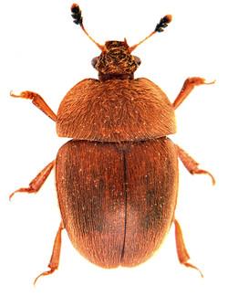 Cychramus luteus 2