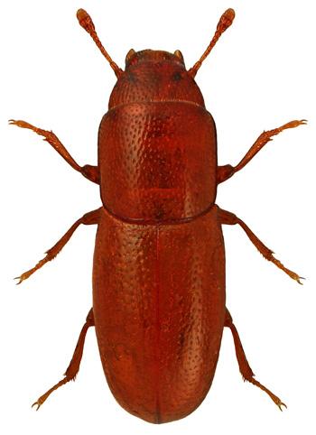 Aglenus brunneus
