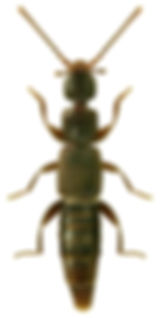 Pseudomedon obscurellus.jpg