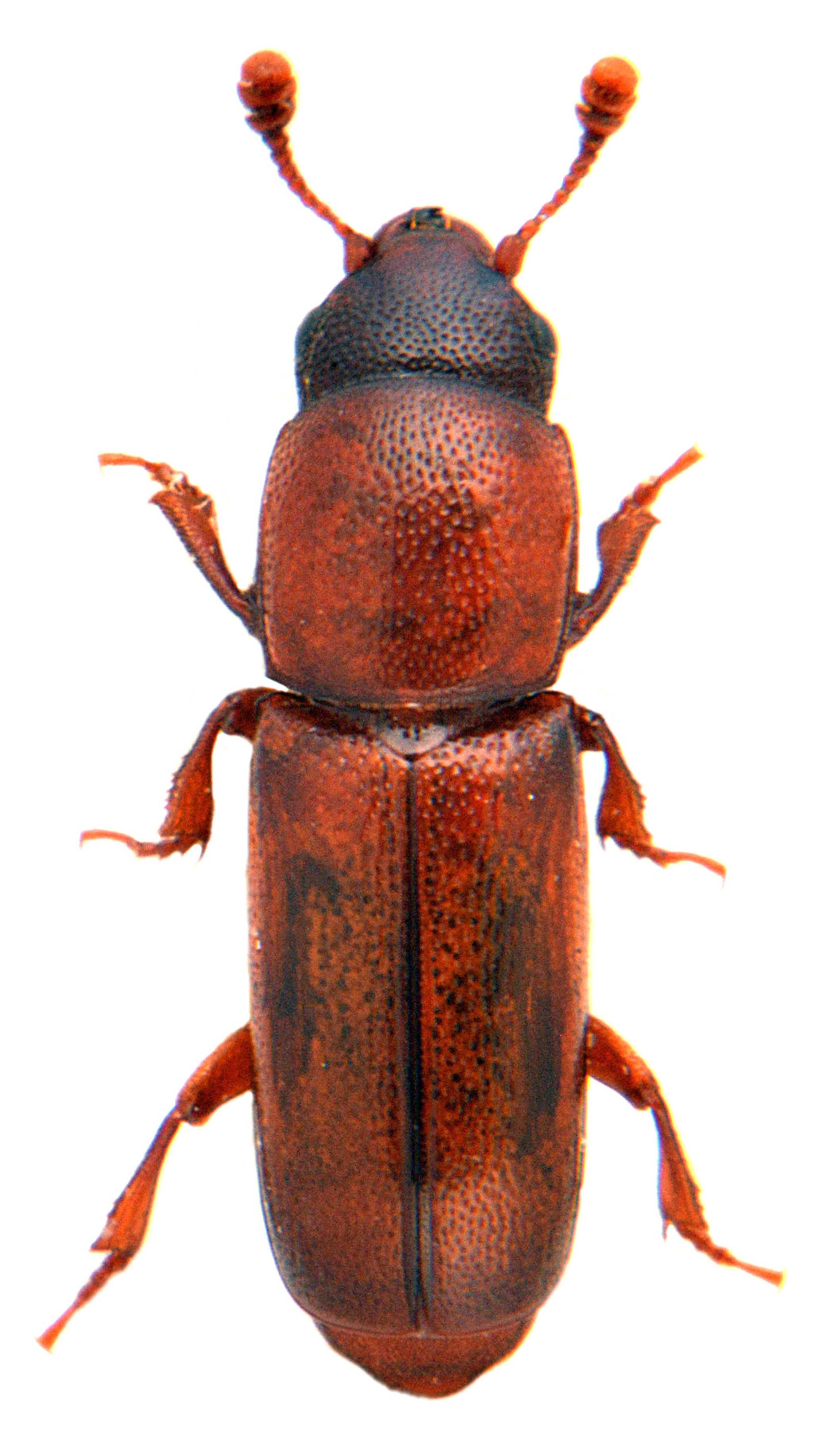Pityophagus ferrugineus 1