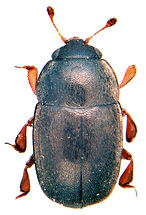 Thymogethes gagathinus 1.jpg