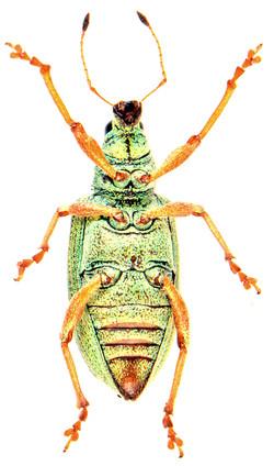 Polydrusus formosus 3