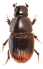 Otophorus haemorrhoidalis 1.jpg