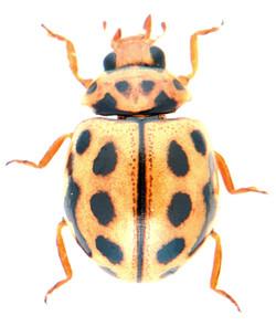 Tytthaspis sedecimpunctata 2