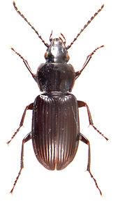 Pterostichus nigrita 1.jpg