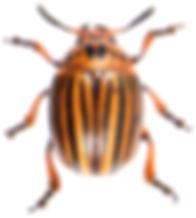 Leptinotarsa decemlineata 2.jpg