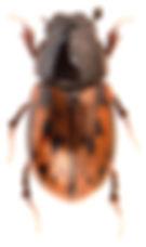 Chilothorax paykulli 1.jpg