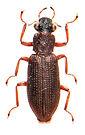 Hydrochus angustatus 2.jpg