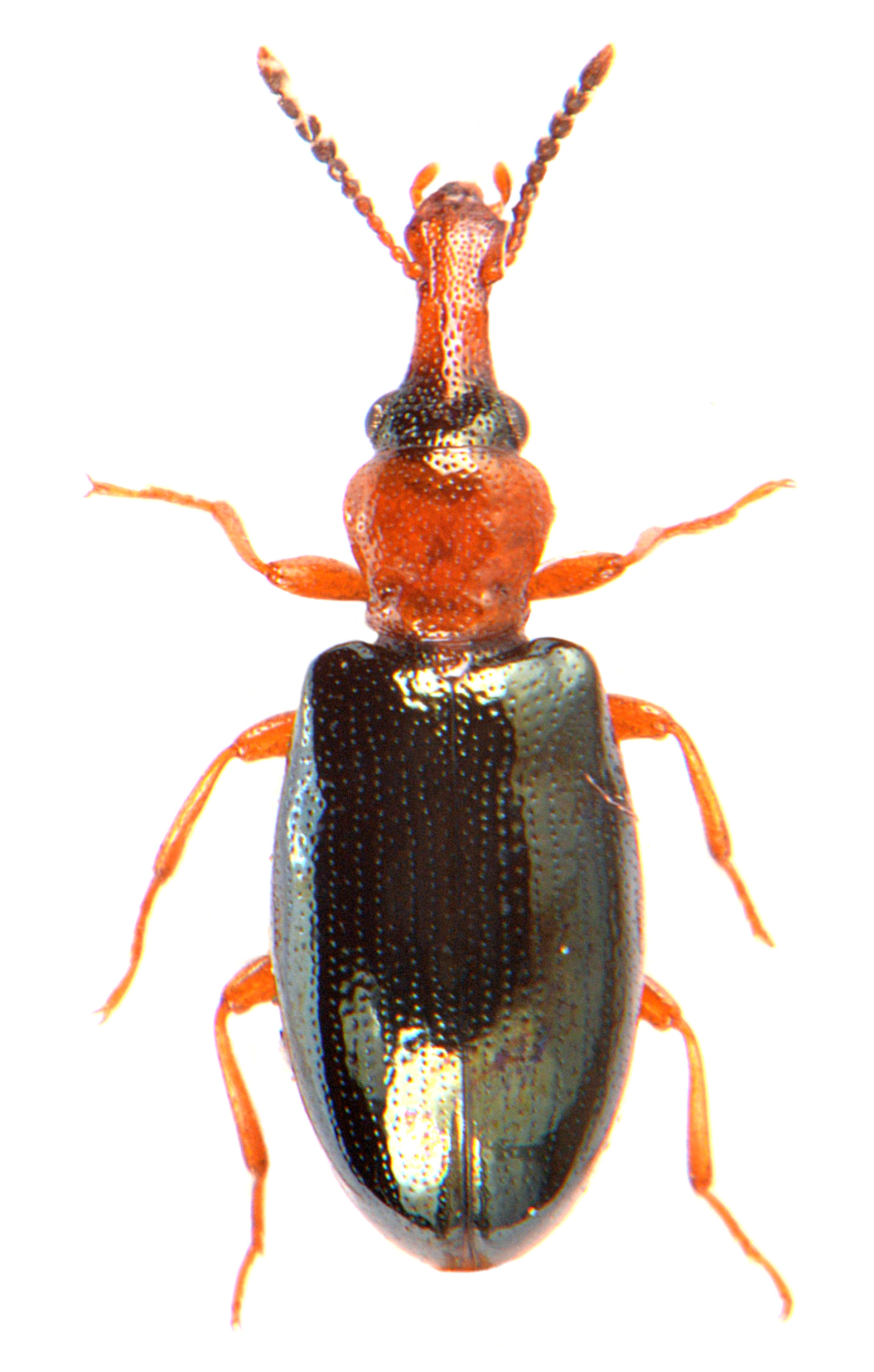 Salpingus ruficollis 2