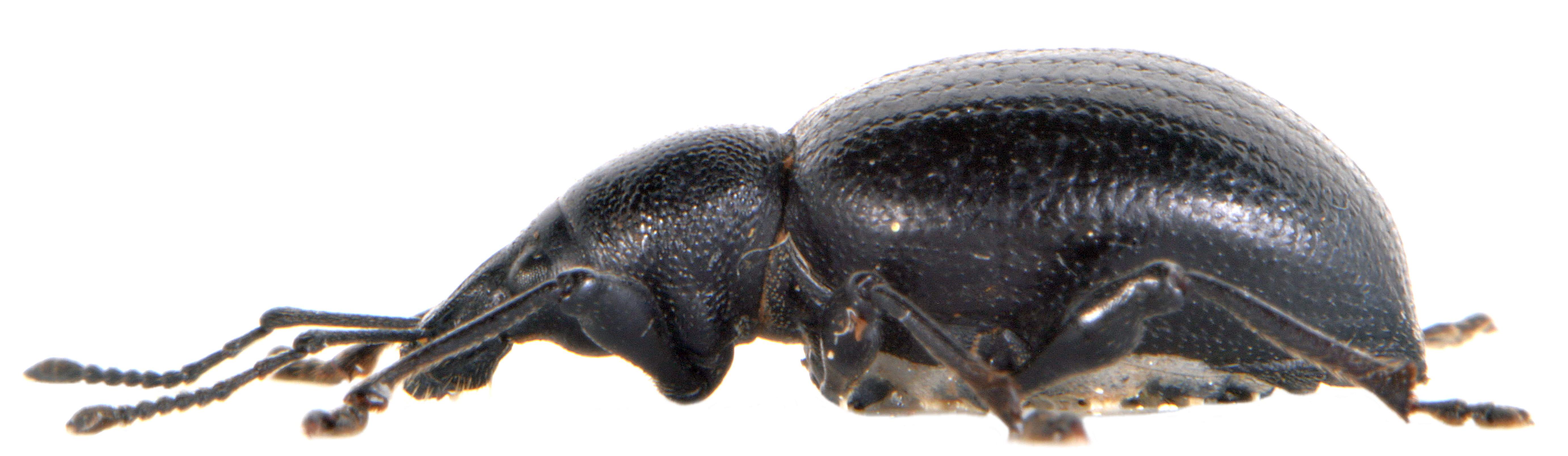 Otiorhynchus morio 4
