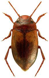 Hydroporus ferrugineus.jpg
