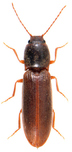 Athous campyloides 2