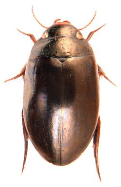 Ilybius chalconatus 2