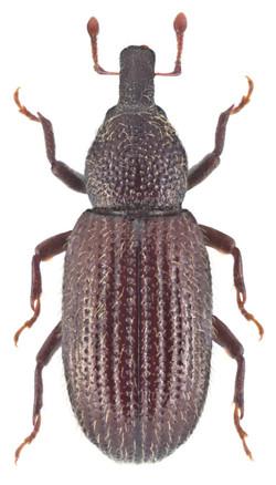 Pselactus spadix