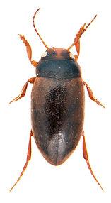 Hydroporus neglectus 1.jpg