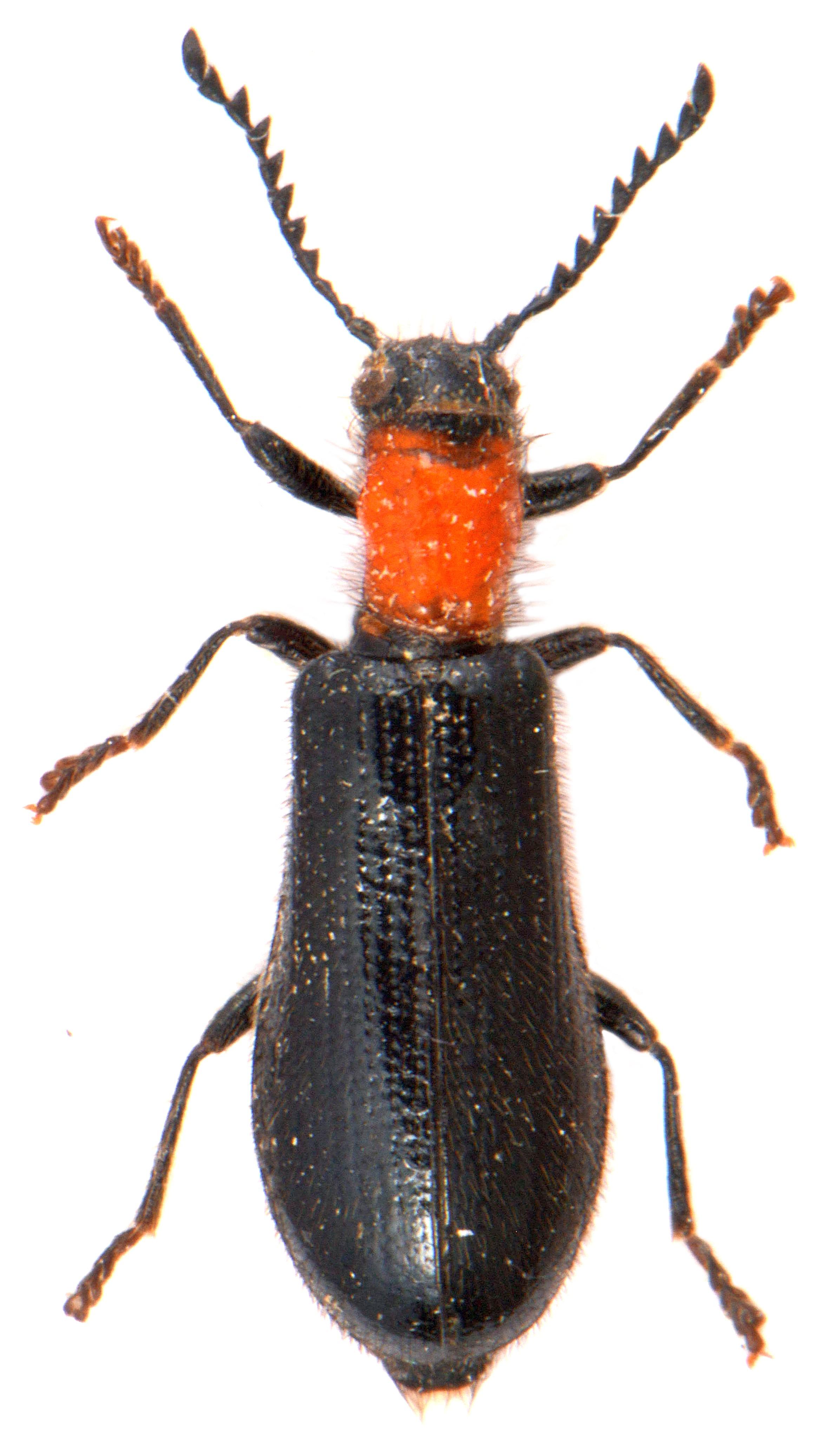 Tillus elongatus 3