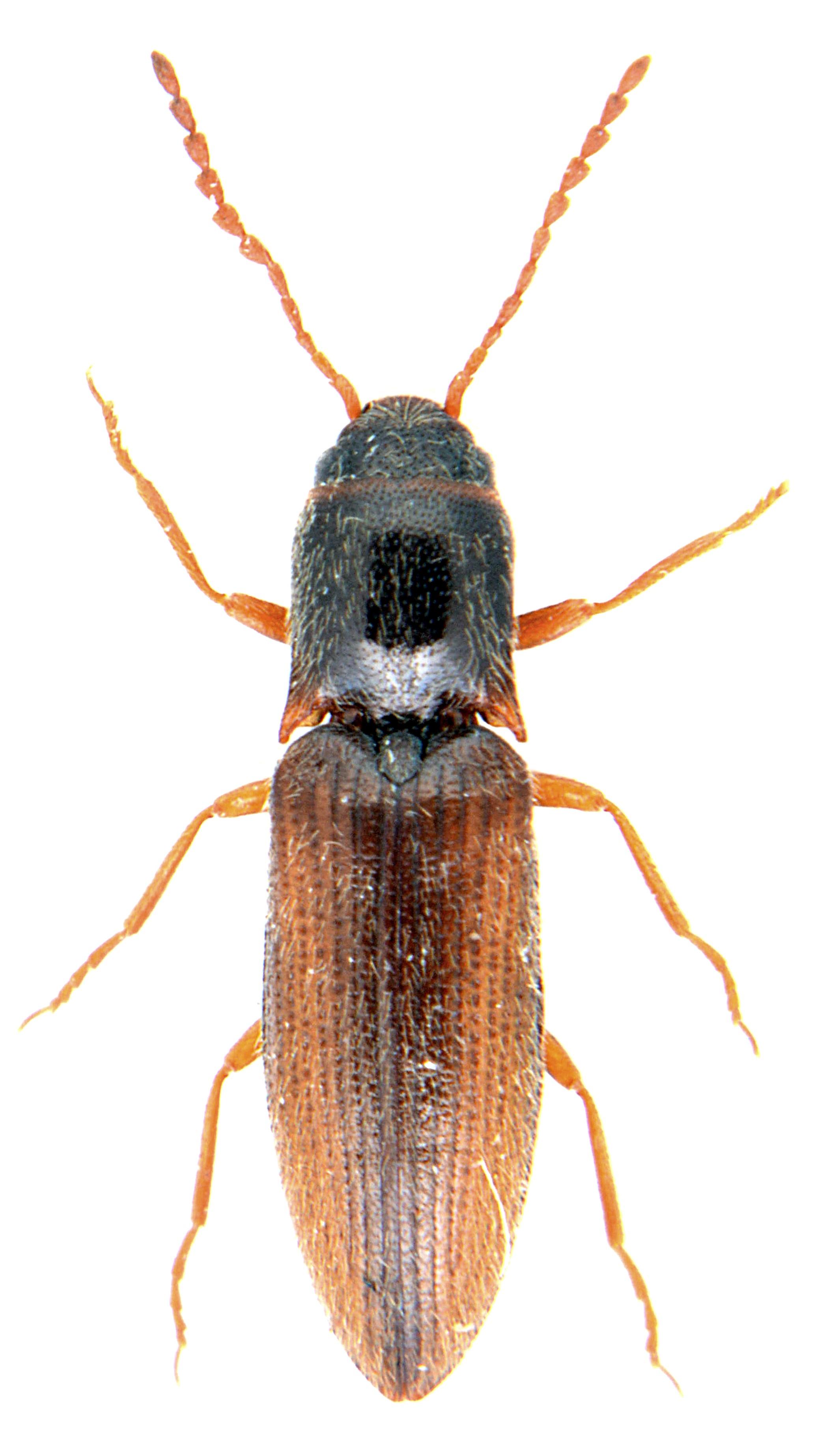 Agriotes pallidulus 2