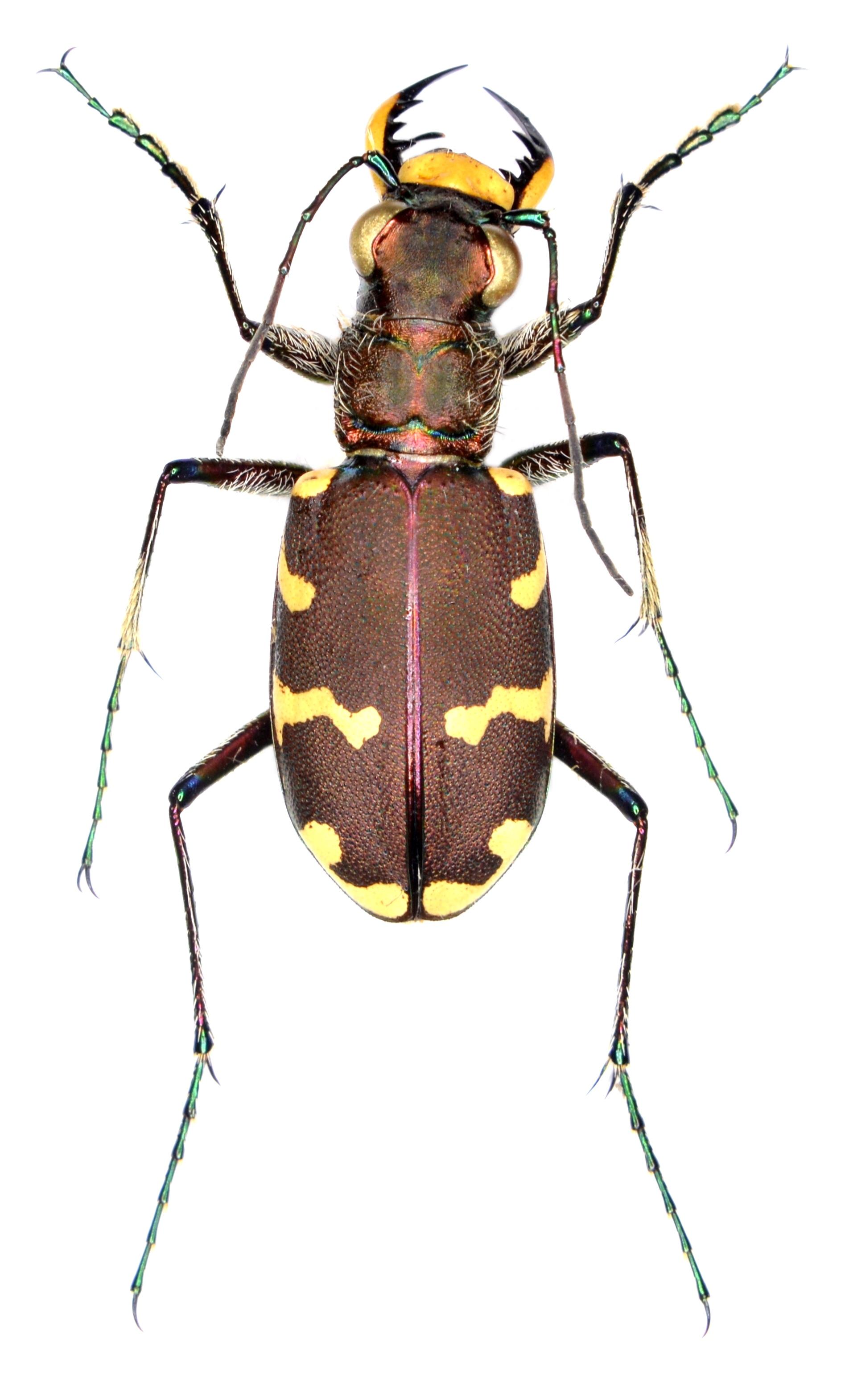 Cicindela hybrida ♂
