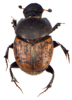 Onthophagus similis 1