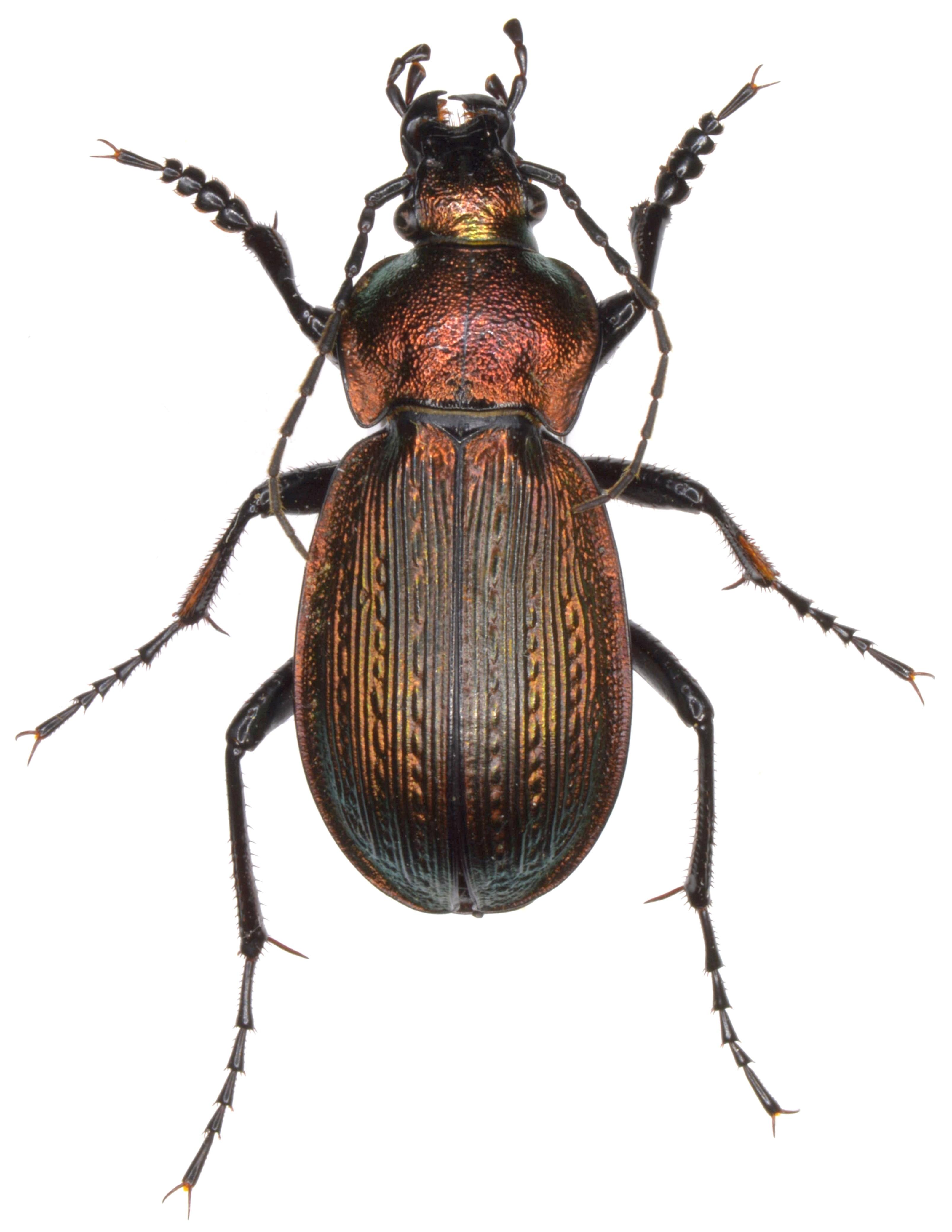 Carabus monilis ♂