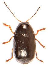 Cryptocephalus labiatus.jpg