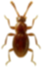 Microscydmus minimus.jpg