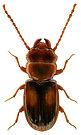 Laemophloeus monilis 1LB.jpg