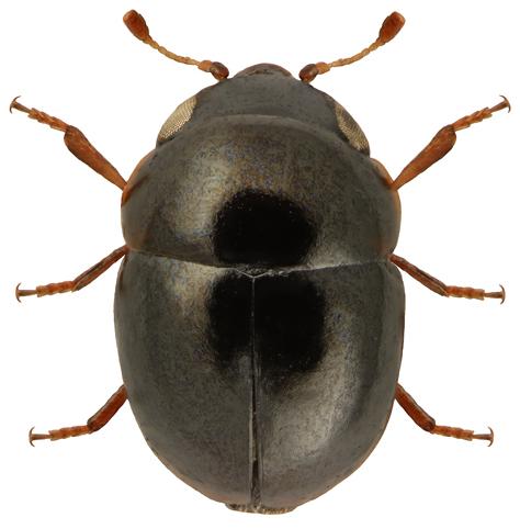 Cybocephalus fodori