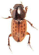 Euheptaulacus sus 1.jpg