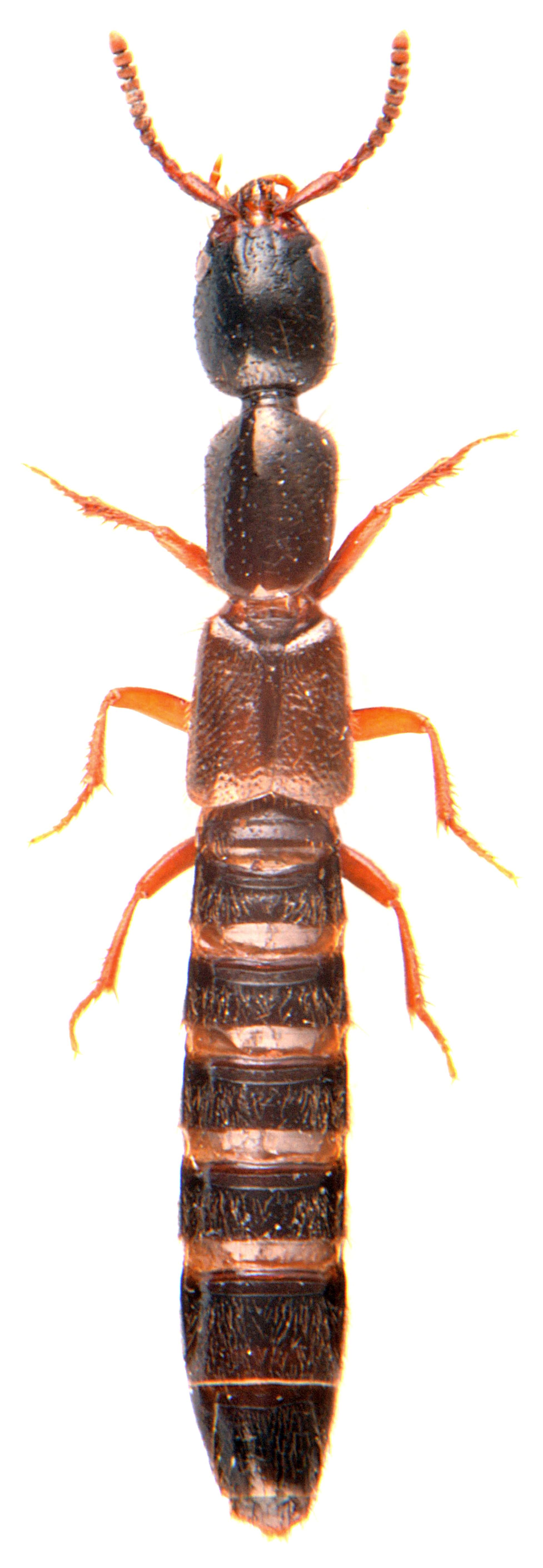 Xantholinus linearis