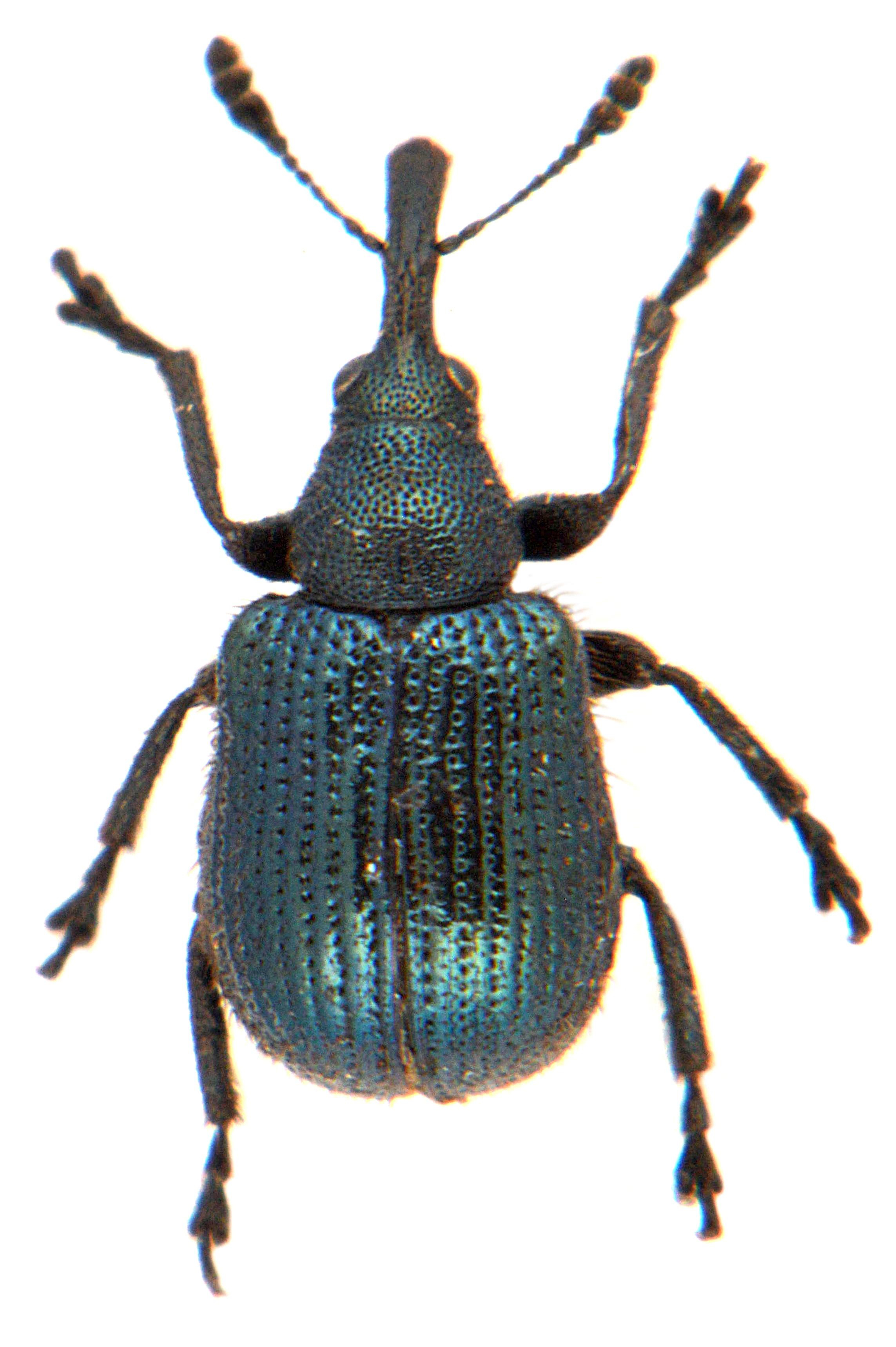 Neocoenorrhinus pauxillus