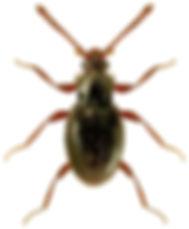 Neuraphes angulatus.jpg