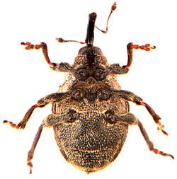 Hadroplontus litura 3