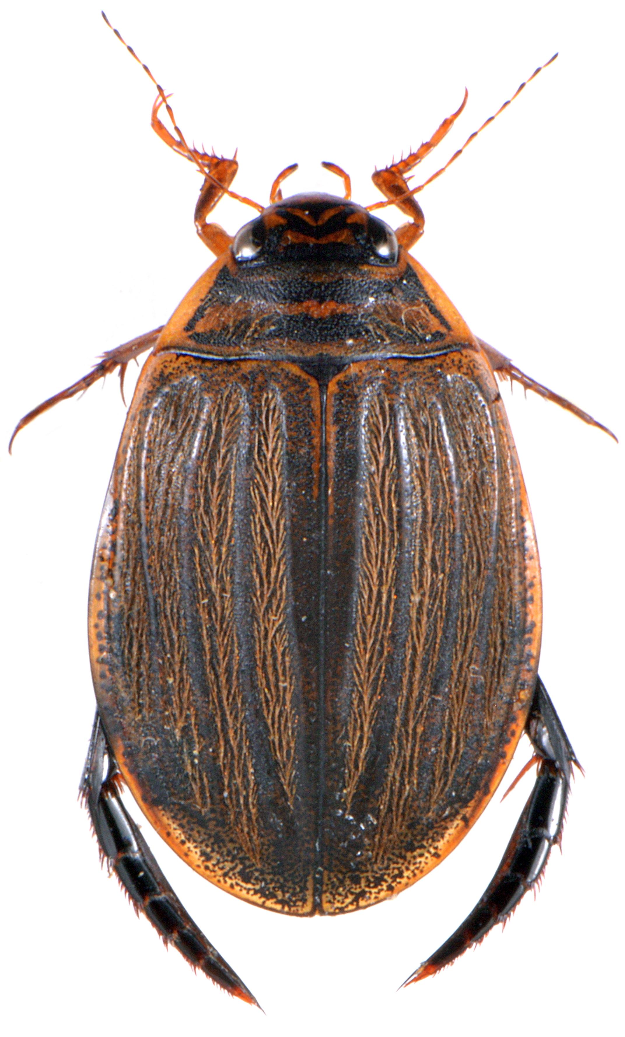 Acilius sulcatus 1