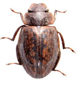 Spercheus emarginatus