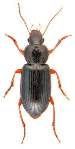 Ophonus ardosiacus 3