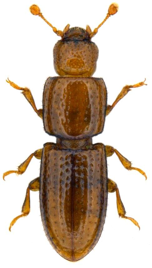 Anommatus duodecimstriatus
