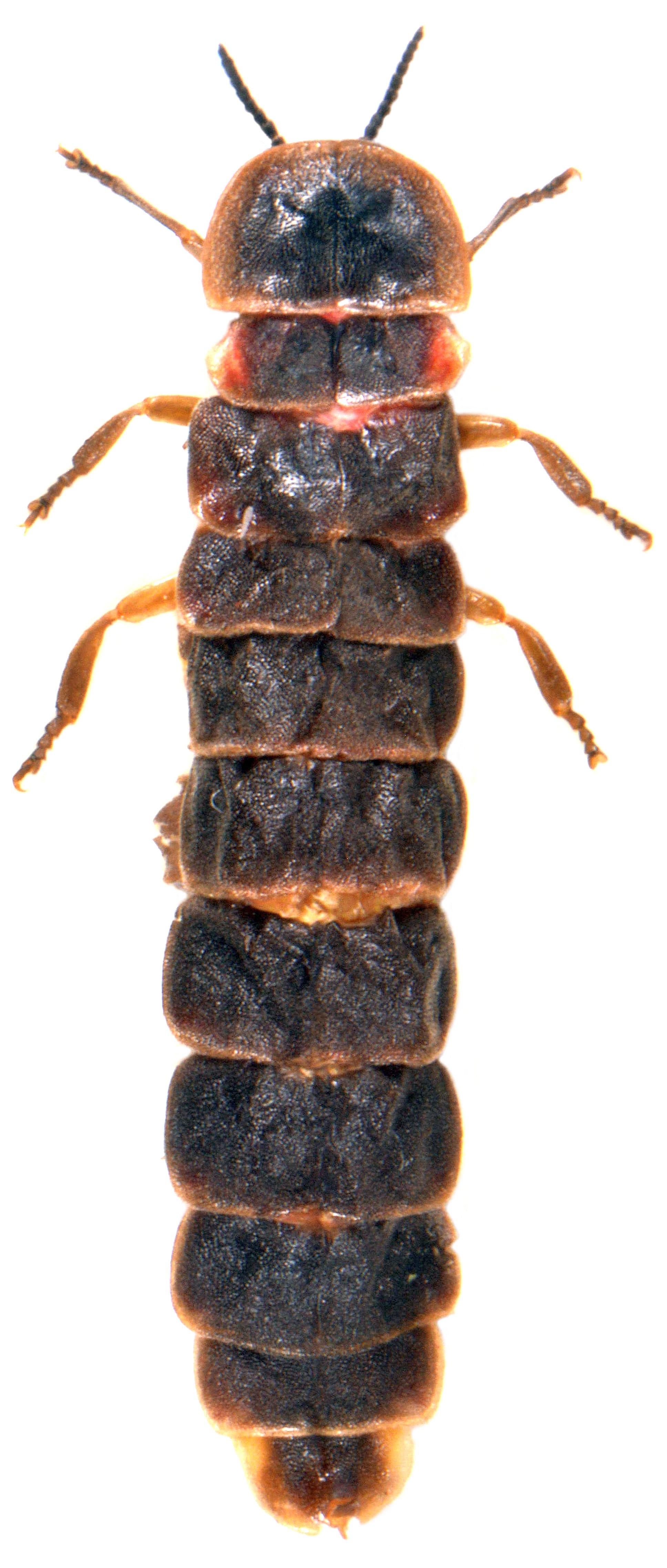Lampyris noctiluca ♀