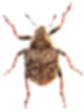 Pelenomus waltoni 1.jpg