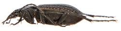 Carabus granulatus