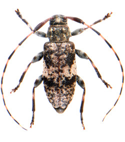 Leiopus nebulosus 4
