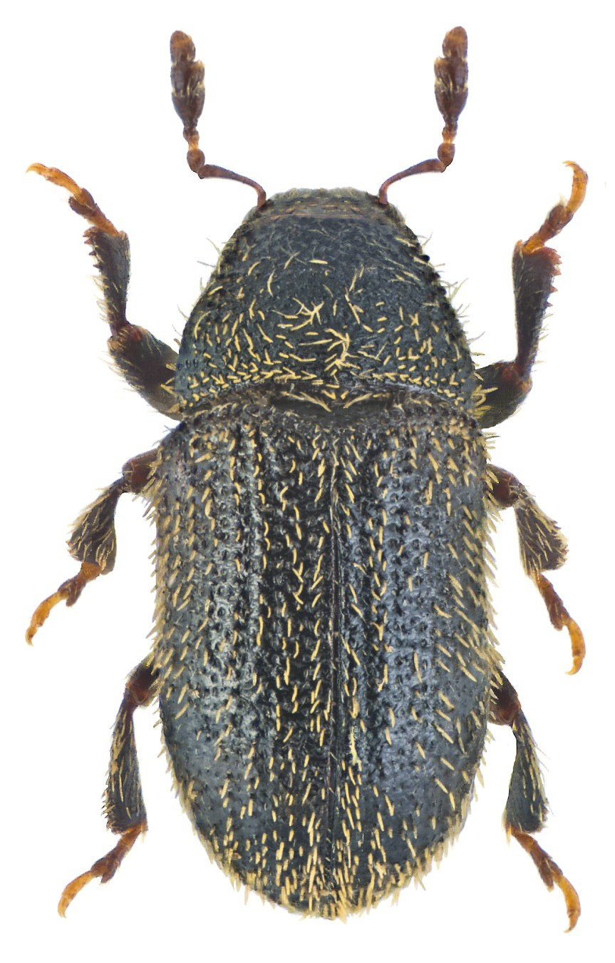 Phloeotribus rhododactylus