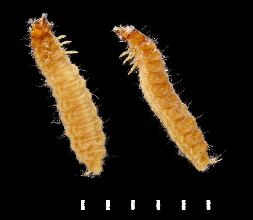 Helophorus porculus larva